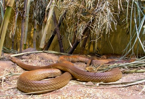 The most venomous Australian snake: the Inland Taipan or Fierce Snake