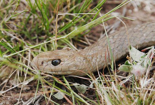 The second most venomous Australian snake: the Eastern Brown Snake