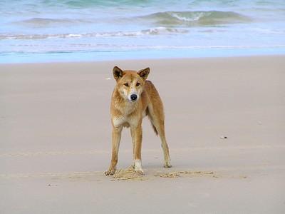 Nearly Extinct: The Pure Dingo