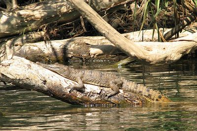 Freshwater Crocodile At Katherine Gorge