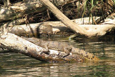 Freshwater Crocodile At Katherine Gorge