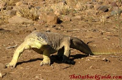 Large Goanna Lizard